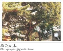 椎の大木 Chinquapin gigantic tree